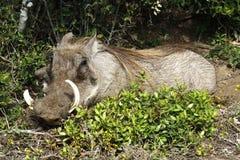 Le warthog Royaltyfria Bilder
