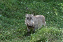Wild warthogs in Africa Royalty Free Stock Photography