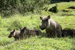 Wild warthogs in Africa Royalty Free Stock Photo