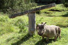 Wild warthogs in Africa Stock Photos