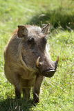Wild warthogs in Africa Stock Image