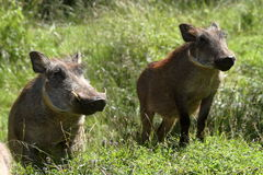 Wild warthogs in Africa Royalty Free Stock Image