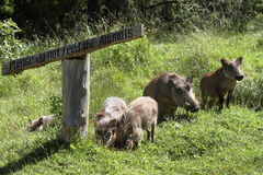 Wild warthogs in Africa Stock Images