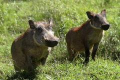 Wild warthogs in Africa Stock Photo
