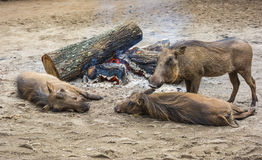 Wild warthogs at a camp fire Royalty Free Stock Image