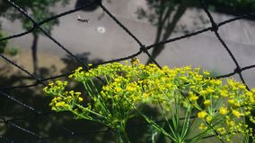 1. Wild wasp in the flight. Wild bee gets nectar, on dill flower. royalty free stock images