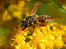 Free Wild Wasp Insect On Meadow Flowers Close-up Stock Photography - 157967172