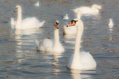 Wild water birds Stock Images