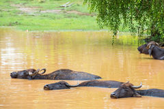 Wild water buffalo bathing in lake in Sri Lanka Stock Images