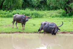 Wild water buffalo bathing in lake in Sri Lanka Stock Photo