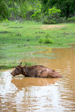 Wild water buffalo bathing in lake in Sri Lanka Stock Photography