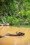 Wild water buffalo bathing in lake in Sri Lanka Royalty Free Stock Photography