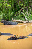 Wild water buffalo bathing in lake in Sri Lanka Stock Photos