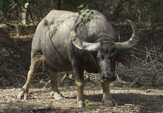 Wild water buffalo Royalty Free Stock Image