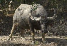 Wild water buffalo Royalty Free Stock Image