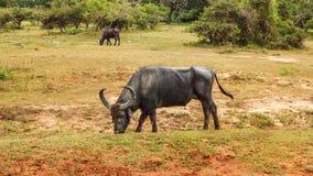 Wild water buffalo Bubalus arnee feeding on a grass. Yala national park, Sri Lanka Royalty Free Stock Images