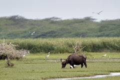 Wild water buffalo in Bundala national park, Sri Lanka Stock Photography