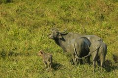 Wild water buffalo with calf ,Bubalus arnee migona from srilanka. Wild water buffalo wild calf  Bubalus arnee migona from maduruoya , srilanka . An endangered Royalty Free Stock Image