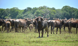 Wild water buffalo Stock Photos