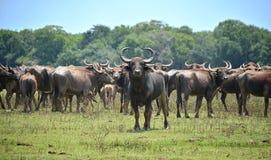 Wild water buffalo Stock Photos