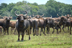 Wild water buffalo Stock Photo