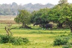 Wild Water Buffalo in Sri Lanka Stock Images