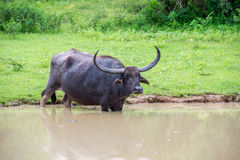 Wild water buffalo in Sri Lanka Royalty Free Stock Photos