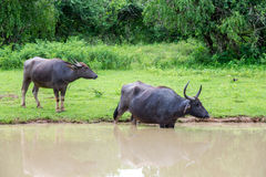 Wild water buffalo in Sri Lanka Stock Photo
