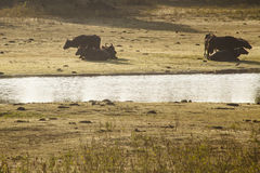 Wild Water Buffalo in Yala West National Park Stock Photography