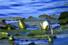 Wild water lilies Royalty Free Stock Photography
