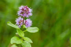 Wild water mint. With purple flower Royalty Free Stock Images