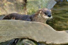 Wild water otter Royalty Free Stock Images