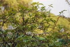 Wild Water Plum on blur nature background. Wild Water Plum on blur nature background with sunlight stock photo