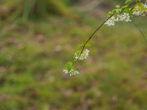 Wild water plum. On blurred green background royalty free stock photo