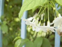 Wild Water Plum. Close up of Wild Water Plum or Wrightia religiosa Benth, white flower on the tree royalty free stock photo