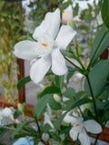 Wild water plum flower. Nature natural tree garden white whiteflowers royalty free stock image