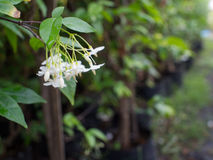 Wild Water Plum Flowers Hanging royalty-vrije stock foto