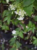 Wild Water Plum Flowers Hanging royalty-vrije stock fotografie