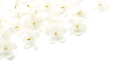 Wild Water Plum. Pattern of tropical white and fragrant flower, Wild Water Plum (Wrightia religiosa), isolated on white stock images