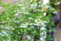 Wild water plum or water jasmine double flower closeup. (wrightia religiosa plant) stock images