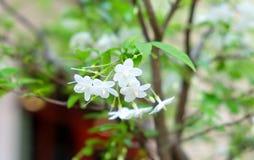 Wild water plum or water jasmine double flower closeup. (wrightia religiosa plant) stock photo