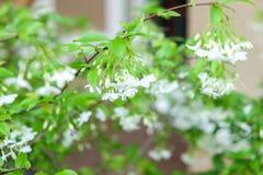 Wild water plum or water jasmine double flower closeup. (wrightia religiosa plant) royalty free stock image