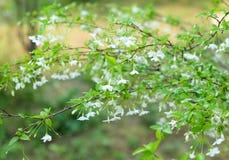 Wild water plum or water jasmine double flower closeup. (wrightia religiosa plant) royalty free stock photography