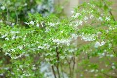 Wild water plum or water jasmine double flower closeup. (wrightia religiosa plant&#x29 stock photos