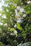Wild water plum in the wind. The little wild water plum are shaking and moving in the wind stock photography