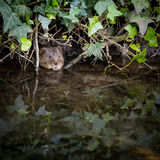 Wild Water vole peeping from burrow. In ivy royalty free stock images