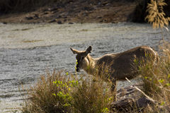 Wild waterbuck in the riverbank , Kruger National park, South Africa Stock Image
