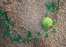 Wild watermelons in the desert. Royalty Free Stock Image