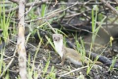 Wild Weasel / Mustela nivalis Stock Images