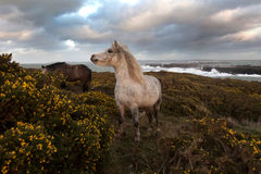 Wild weather. Wild Welsh Ponies at the Breakwater park with rough seas breaking on the harbour walls behind Royalty Free Stock Image